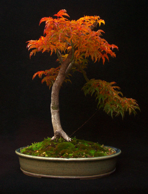 the art of bonsai with japanese maples maplestone ornamentals rh maplestoneornamentals com Butterfly Japanese Maple Weeping Willow Bonsai