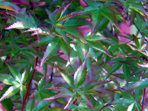 Japanese Maple Image Gallery Maplestone Ornamentals