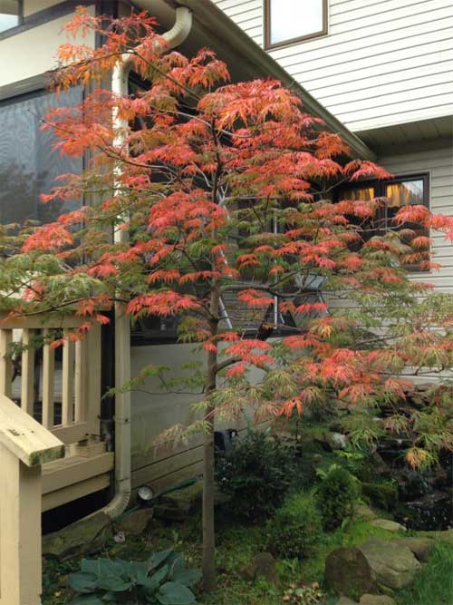 Japanese Maple Image Gallery Maplestone Ornamentals