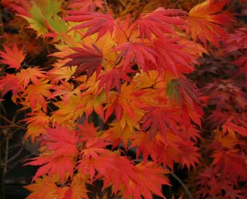 Acer palmatum Tama Hime - For Sale