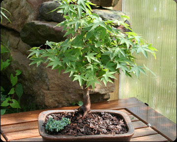 Rare Japanese Bonsai Trees