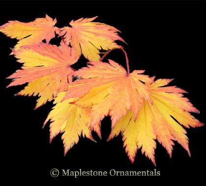 O isami - Japanese Maples