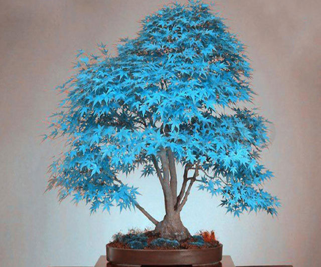 Blue  - Japanese Maples