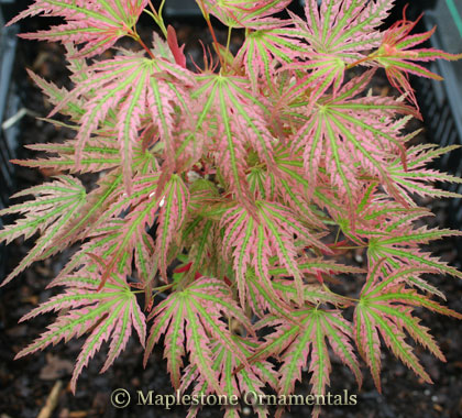 Abigail Rose - Japanese Maples