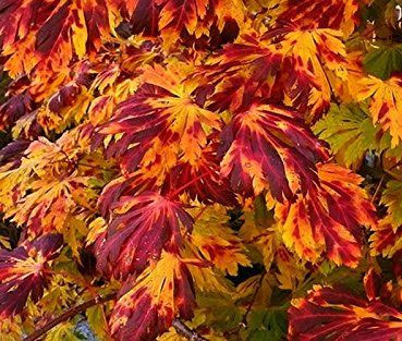 Aconitifolium - Japanese Maples