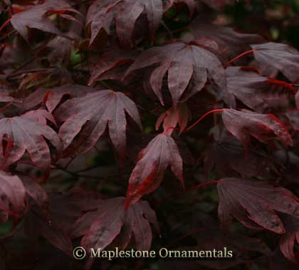 Adrian's Compact - Japanese Maples