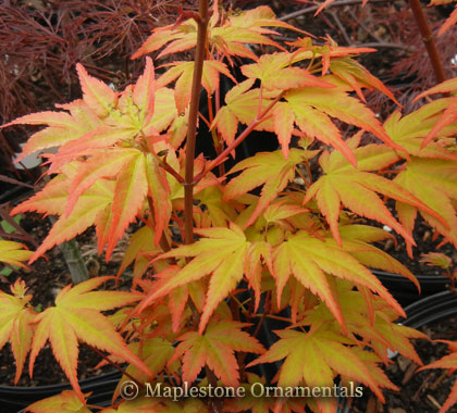 Akane - Japanese Maples