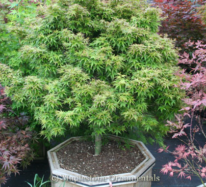 Dwarf Japanese Maples For Sale At Maplestone Ornamentals
