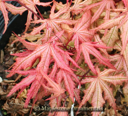 Amber Ghost   - Japanese Maples