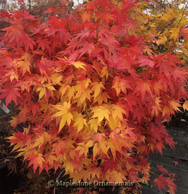 Aoba jo - Japanese Maples
