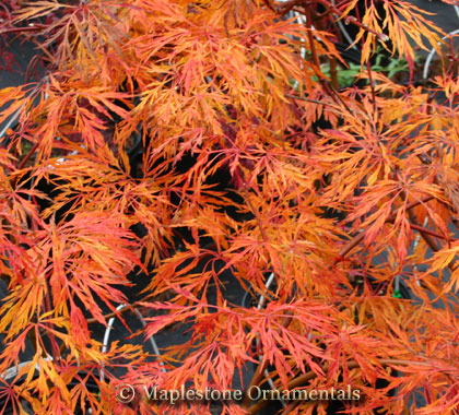 Ao jutan - Japanese Maples