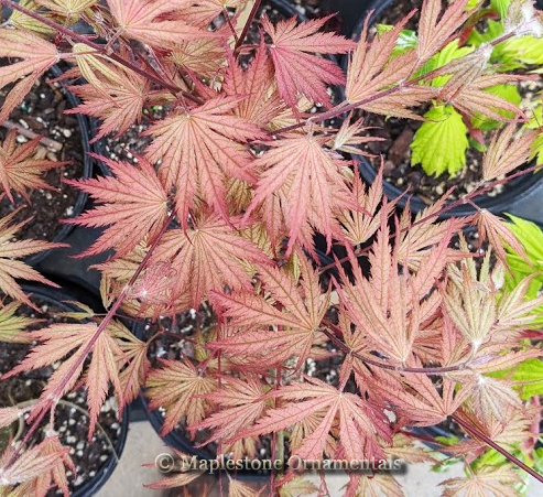 Ariadne - Japanese Maples