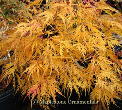 Augustilobum - Japanese Maples