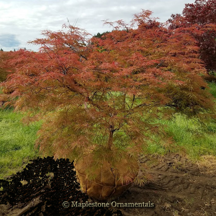 Autumn Fire - Japanese Maples