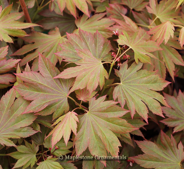 Autumn Glow - Japanese Maples