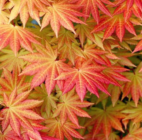 Autumn Moon - Japanese Maples