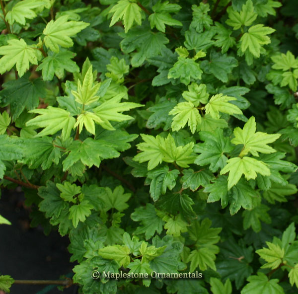 Baby Buttons - Japanese Maples