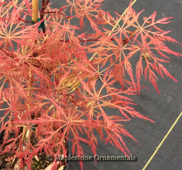 Baldsmith - Japanese Maples