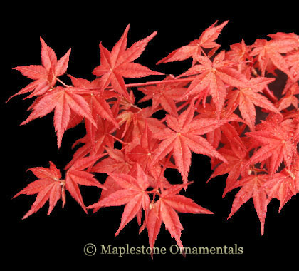 Beni maiko - Japanese Maples