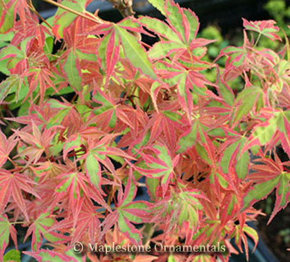 Beni schichihenge - Japanese Maples