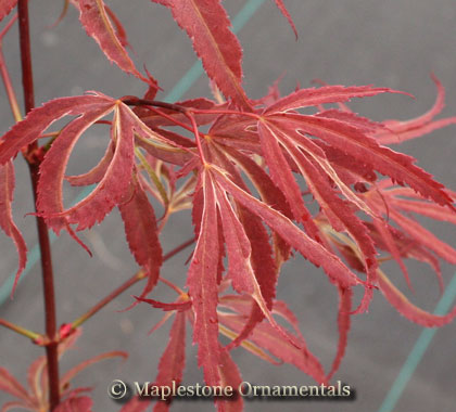 Beni shi en - Japanese Maples