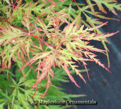 Berrima Bridge - Japanese Maples
