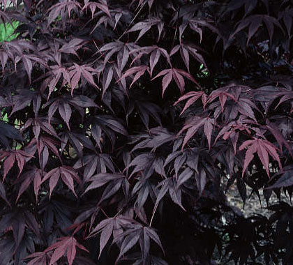 Bloodgood - Japanese Maples