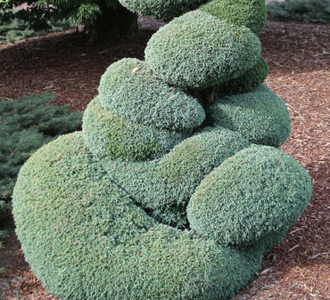Blue Moss - Conifers