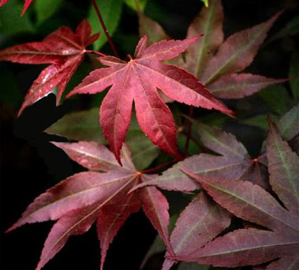 Boskoop Glory - Japanese Maples