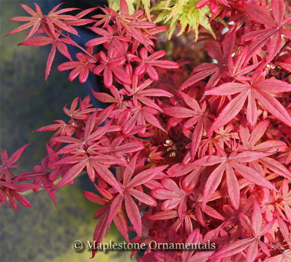 Brandt's Dwarf - Japanese Maples