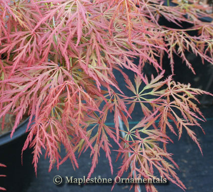Bronzewing - Japanese Maples