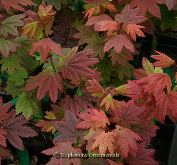 Burgundy Jewel - Japanese Maples