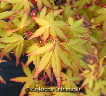 Calico - Japanese Maples