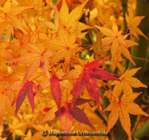 Acer Palmatum Calico Japanese Maples Palmatum