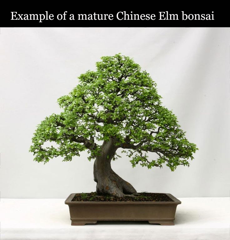 Chinese Elm - Other Trees