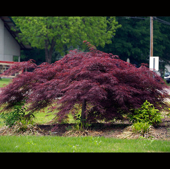 Acer Palmatum Crimson Queen Japanese Maples Palmatum