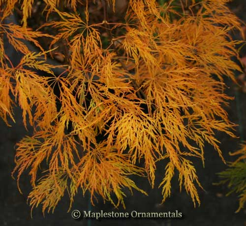 Dr. Brown - Japanese Maples