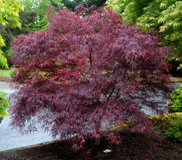 over 85 japanese maples  u203a palmatum for sale