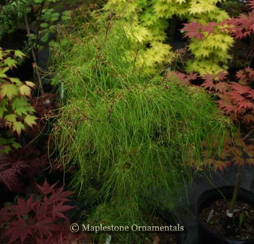 Acer Palmatum Fairy Hair Japanese Maples Palmatum