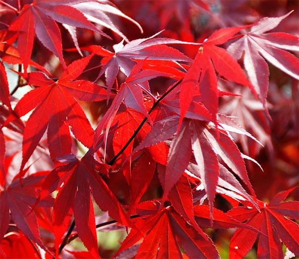 Acer Palmatum Fireglow Japanese Maples Palmatum Maplestone