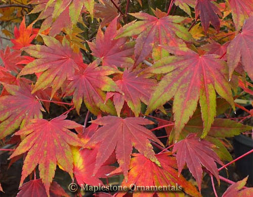 Garden Glory - Japanese Maples
