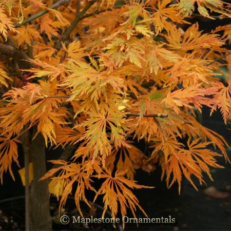 Green Snowflake - Japanese Maples