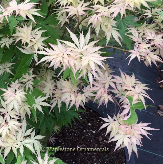 Rare Japanese Maples For Sale Maplestone Ornamentals