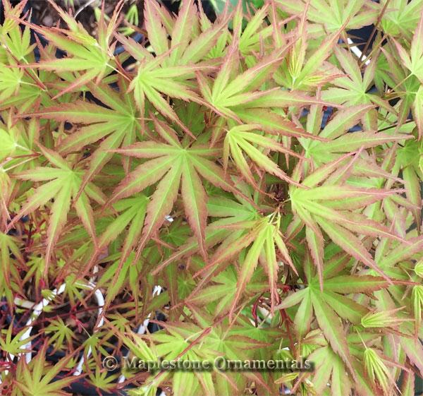 52 Bonsai Japanese Maples For Sale Acer Palmatum