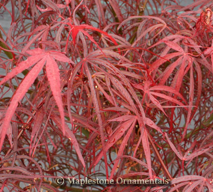 Hubb's Red Willow - Japanese Maples