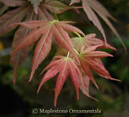 Iijima sunago - Japanese Maples