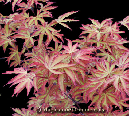 Itami Nibluki - Japanese Maples