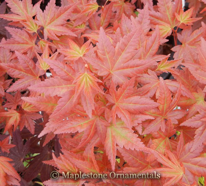 Johnnies Pink - Japanese Maples
