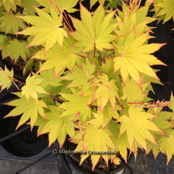 Jordan - Japanese Maples