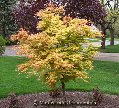 acer palmatum 39 katsura 39 japanese maples palmatum. Black Bedroom Furniture Sets. Home Design Ideas